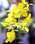 Hoa Mai flower, a yellow flowering plant